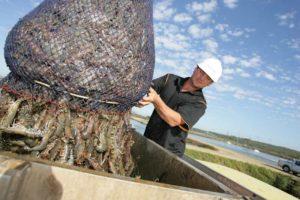prawn farming